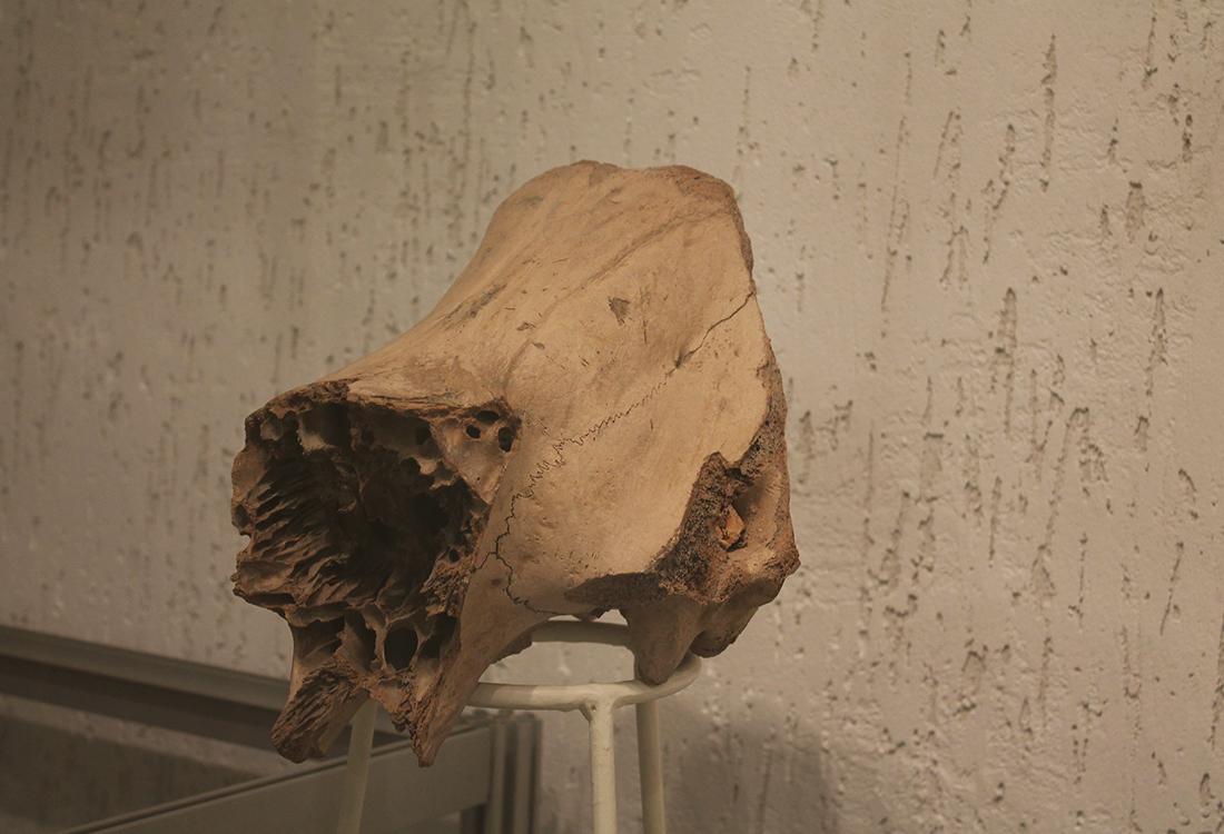 Викопні рештки тварин. Череп шерстистого носорога. Знахідки з території Київської області.