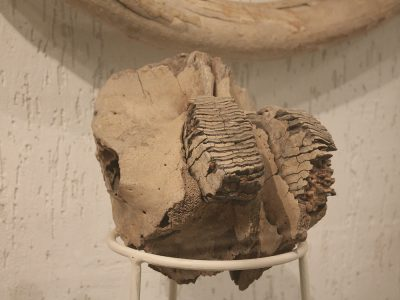 Фрагмент щелепи молодого мамонта